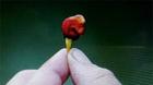 世界最辣的辣椒真能把你辣死 龙息辣椒可使局部麻醉