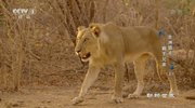 《动物世界》 20210731 非洲猎手·狮王兄弟(上)