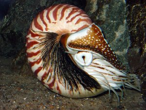 Photo by J. Baecker, https://en.wikipedia.org/wiki/Nautiloid