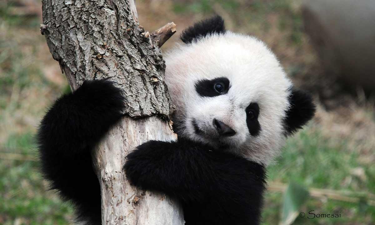 其实你根本不了解大熊猫