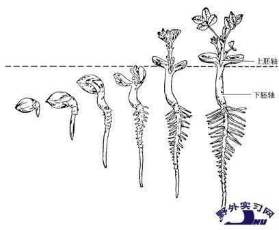 花生生长的过程 图