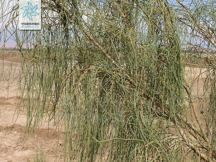 梭梭树是一种长在沙地上的固沙植物,也可以作为牲畜的饲料,名贵中药
