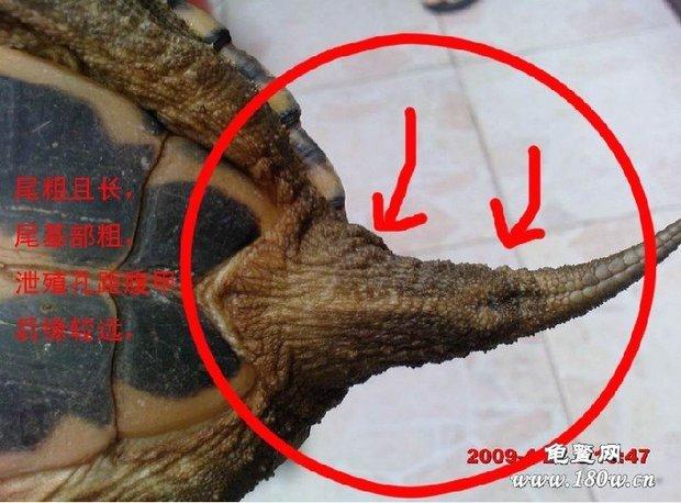 乌龟怎么样区分公母?