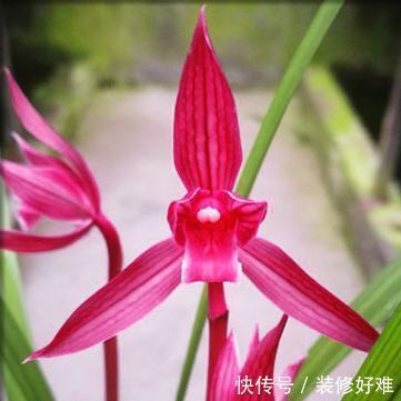 """此兰花""""美妙绝伦"""",花型优美,花香浓郁,被誉为是顶级红素"""