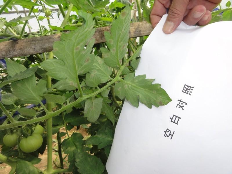 西红柿根茎叶结构图