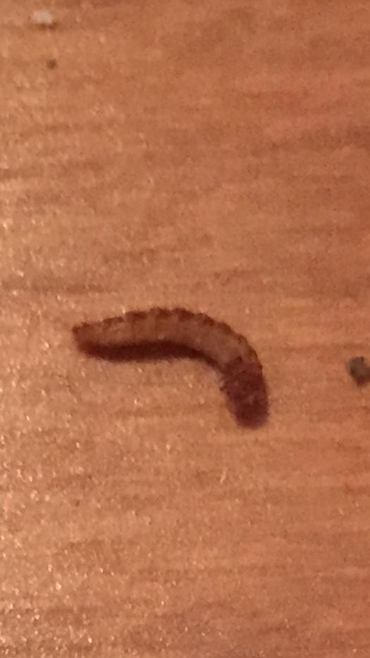 请问是什么虫子?