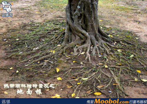 印度橡皮树