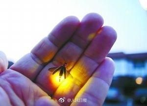 我国萤火虫正面临灭绝 被拉到城市可能活不过3天 - 钟儿丫 - 响铃垭人