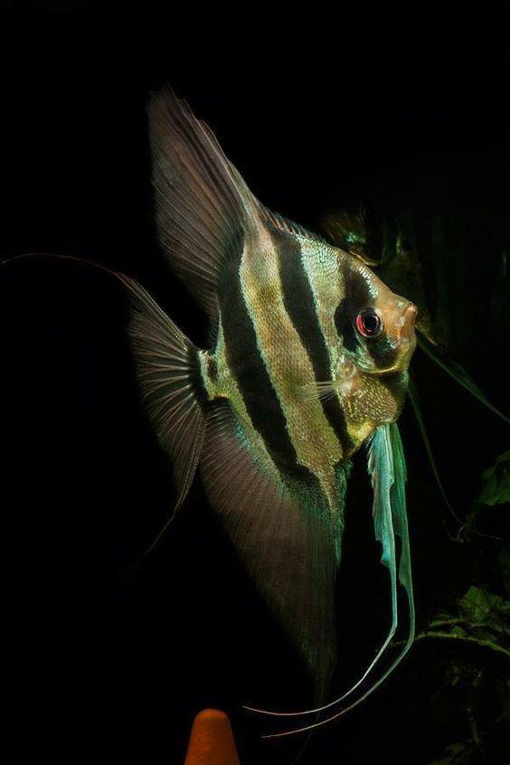 世界上最有仙气的观赏鱼听名字就想养神仙鱼就是这么傲娇 观赏鱼常见疾病 深圳龙鱼第2张