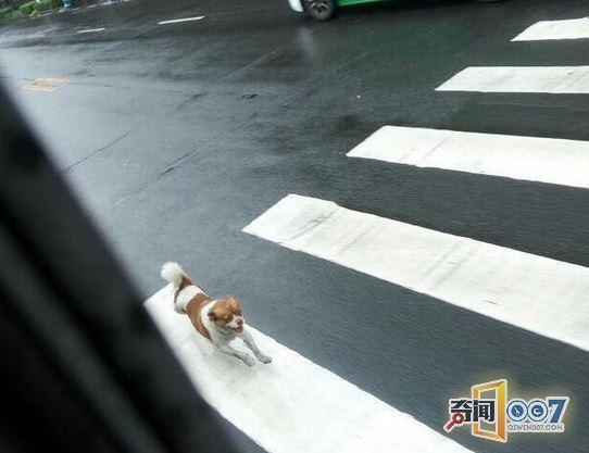 狗狗死命追公交车半小时 知其真相乘客会心一笑 - 粉伊香 - 粉伊香