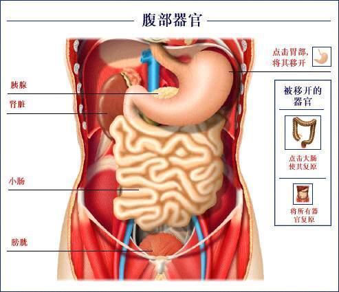(图片) 【 胃在人体的位置】人体的肠胃结构图(图片) 【 胃在人体的位