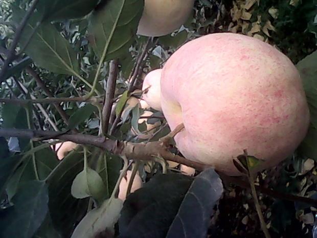 苹果树病毒病怎么治
