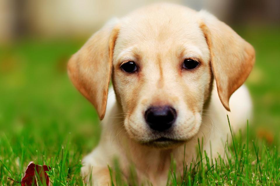 拉布拉多犬图片大全 拉布拉多犬图片价格 纯种拉布拉多犬图片高清图片