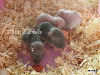 仓鼠刚出生是什么样子的