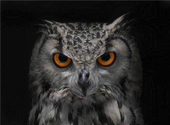 十大有益的动物 猫头鹰被称为是灭鼠专家