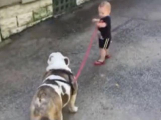 反差萌!刚会走路的小宝宝牵着上百斤的大狗