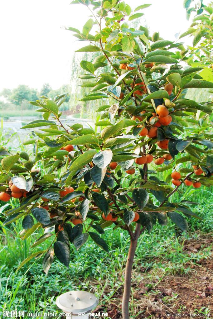 中国有适于各种果树生长,繁衍的自然条件,种质资源丰富,共有59科158属