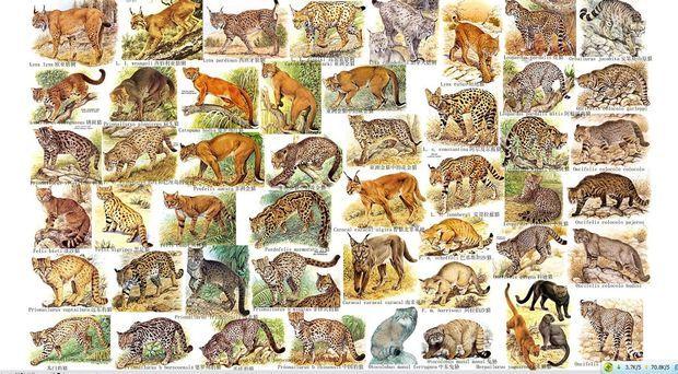 求猫科动物大全分类图片