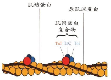 肌原纤维的结构图片
