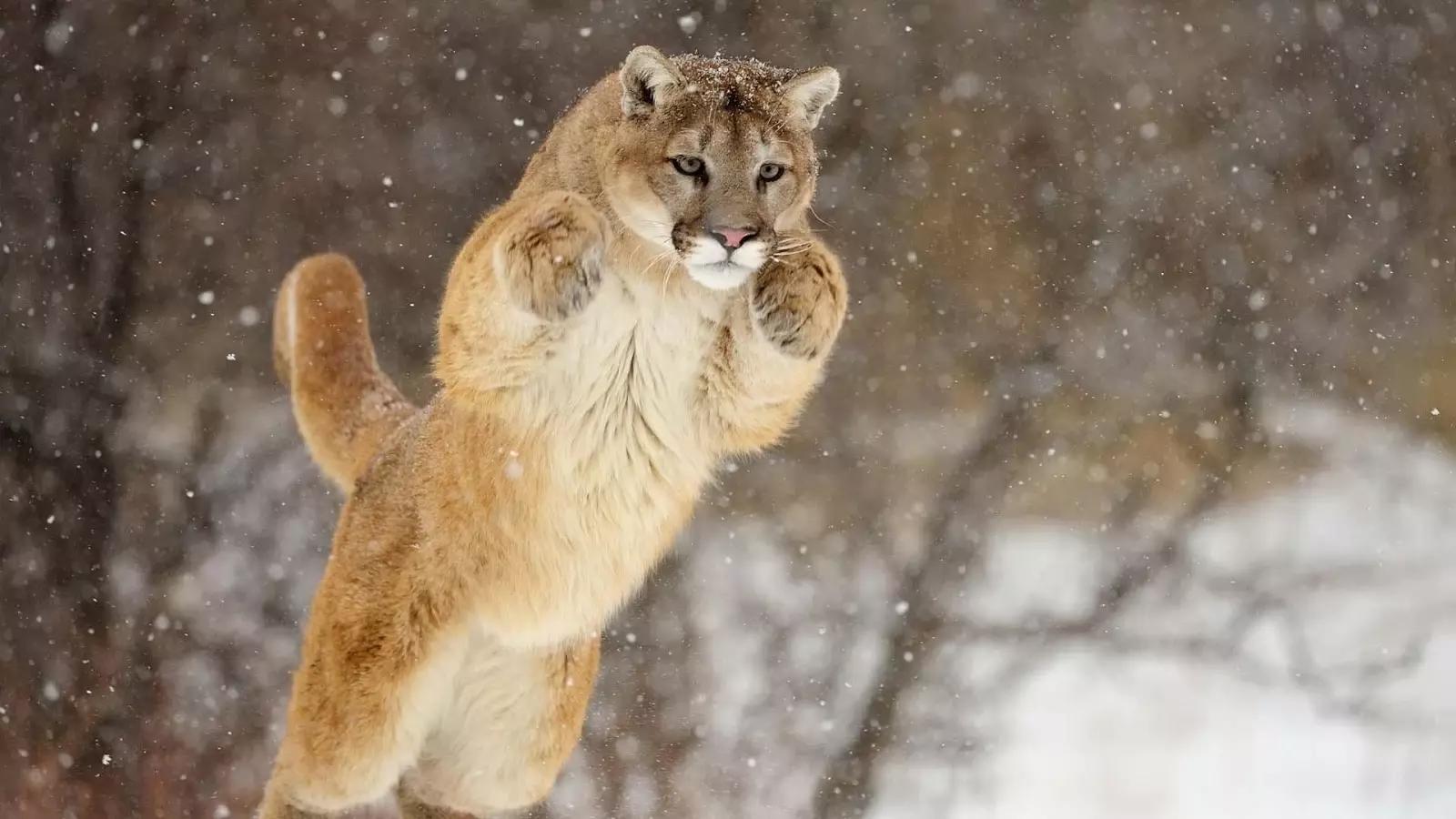 這是一個免費的獅子壁紙應用程序。可愛的小獅子,女(母獅)和雄獅相冊。精彩的高品質的獅子的照片,你也可以下載這些離線圖片到你的手機或平板電腦!獅子老虎之後的第二大生活的貓。獅子活10-14年在野外,而在人工飼養,他們可以超過20年壽命更長。有些人還保持著獅子當寵物。