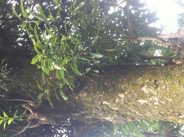 请专家帮忙鉴别一下,这是金丝楠木树吗?
