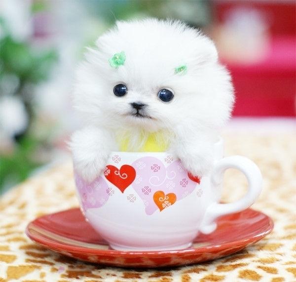 最萌茶杯狗