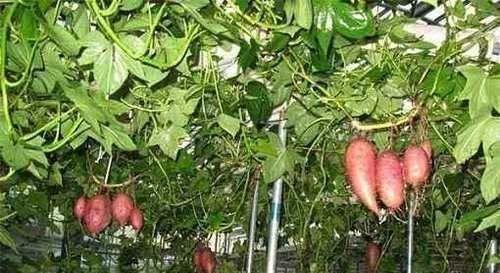 """生长在空中的""""红薯"""",结出果实被争相抢购,你见过吗红薯方式"""