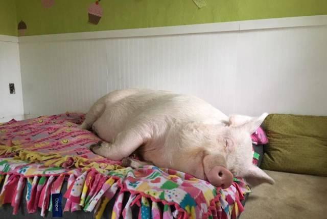 小猪睡觉的地方早已不是脏兮兮的猪圈,人家有小清新房间,有床.