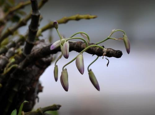 大苞鞘石斛
