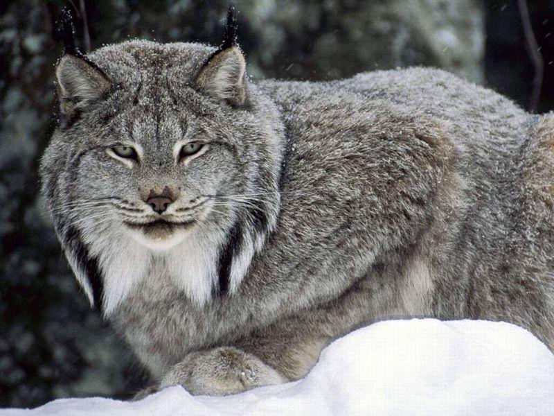 """这四种短尾猫科动物各自属于独立物种,其中这种""""欧亚""""猞猁的体形最大"""