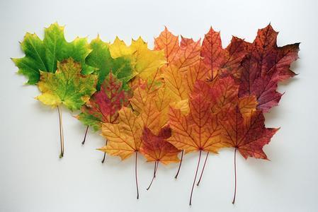 秋天的枫树手工制作图片