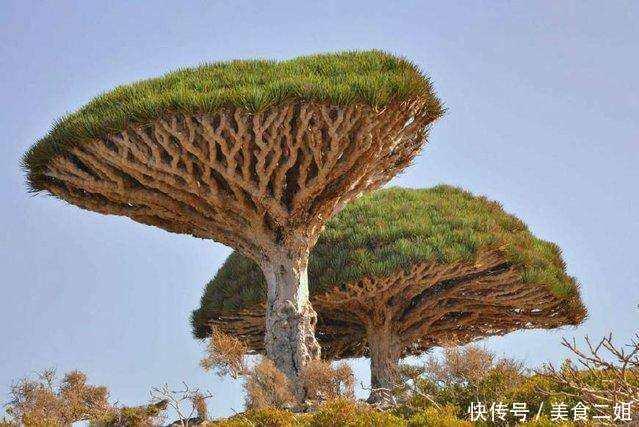 世界之大,无奇不有,今天小编就带大家去看看世界上哪些长得最丑的三棵树,请增大你的眼睛,不要眨眼,不知道你们见过吗?  3.棒棰树。原产马达加斯加、纳米比亚、南非,多生长在马达加斯加岛海拔1500米的花岗岩岩层上,棒槌树外观奇特,盆栽观赏,为植物中的珍稀品,可用来布置植物园中的专类园,它喜欢偏干的土壤环境,喜温暖,怕寒冷,棒槌树为多年生,其成形较快,不易老化,但这棵树从外观上看实在是一个奇葩,因为长得太难看了,外形上看,就像是一个树根长出来了似的,不过这种树在非洲的生长还是很不错的。  2.
