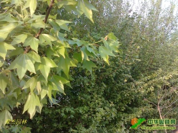 树叶的形状如同元宝钱是什么树?