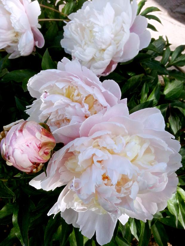 微信头像花朵牡丹唯美