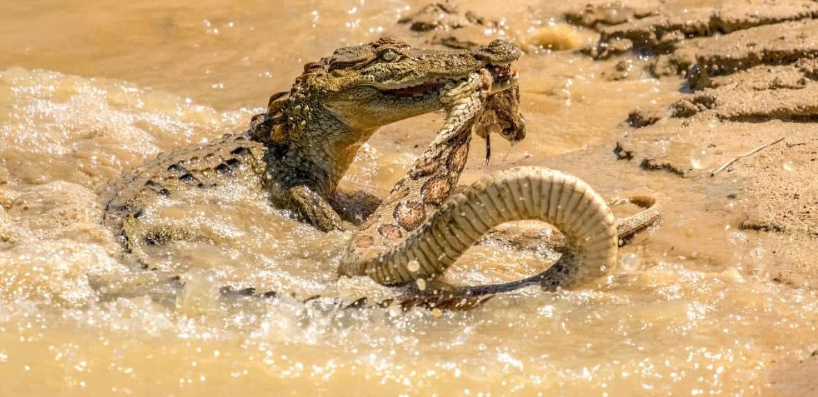 想毒杀鳄鱼却被反扑,咬住蛇头死亡翻滚,蛇:大哥我错了