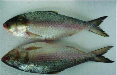 中国最美味的七种鱼,吃过的人身份都不简单,一定是非富即贵!