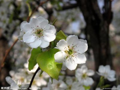 梨花花瓣是什么形状