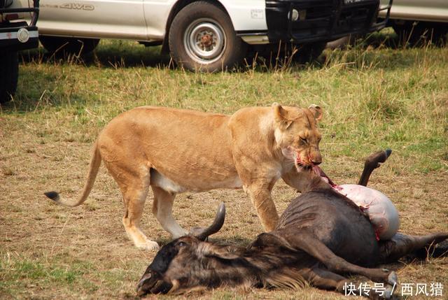 壁纸 动物 狮子 桌面 640_429