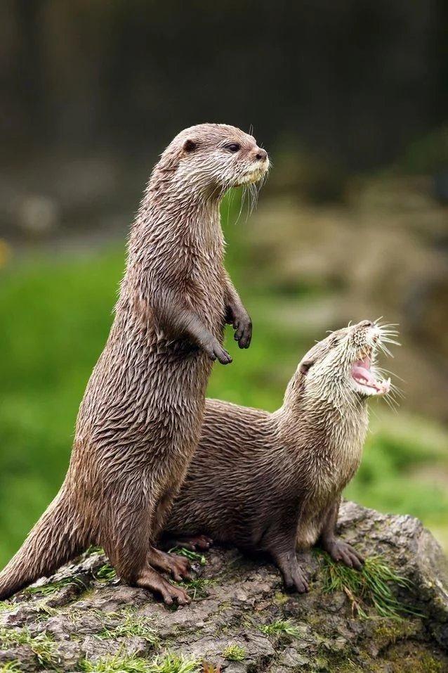 最具魅力的哺乳动物水獭,特有的气质让人非常的着迷