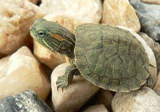 巴西龟冬眠怎么养