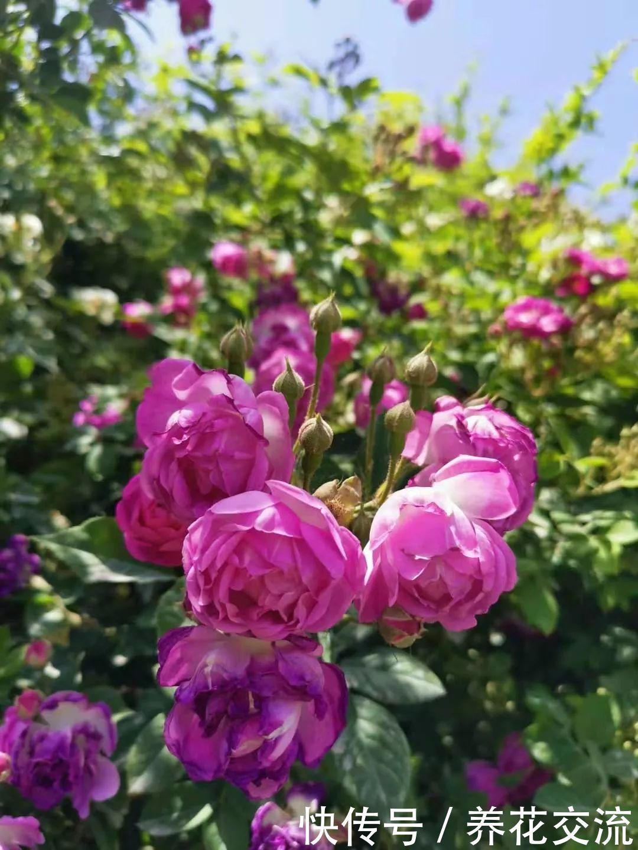 院子可养这15种低矮灌木花卉,种出一片迷人花丛,能不停开花