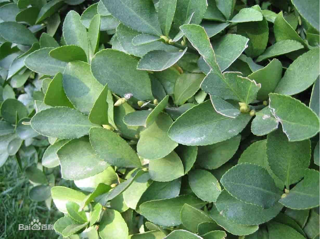 黄杨科常绿灌木或小乔木