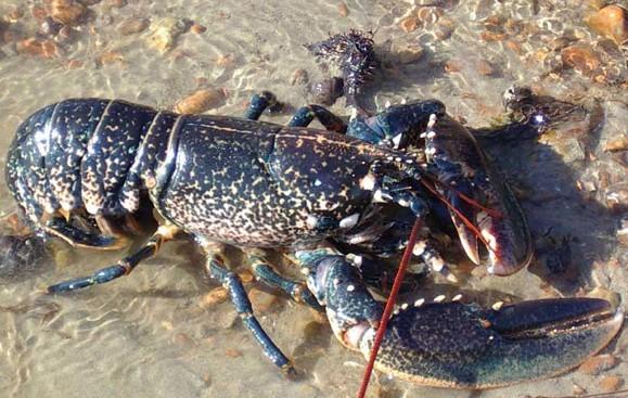 节肢动物 虾 欧洲龙虾_节肢动物 虾 欧洲龙虾