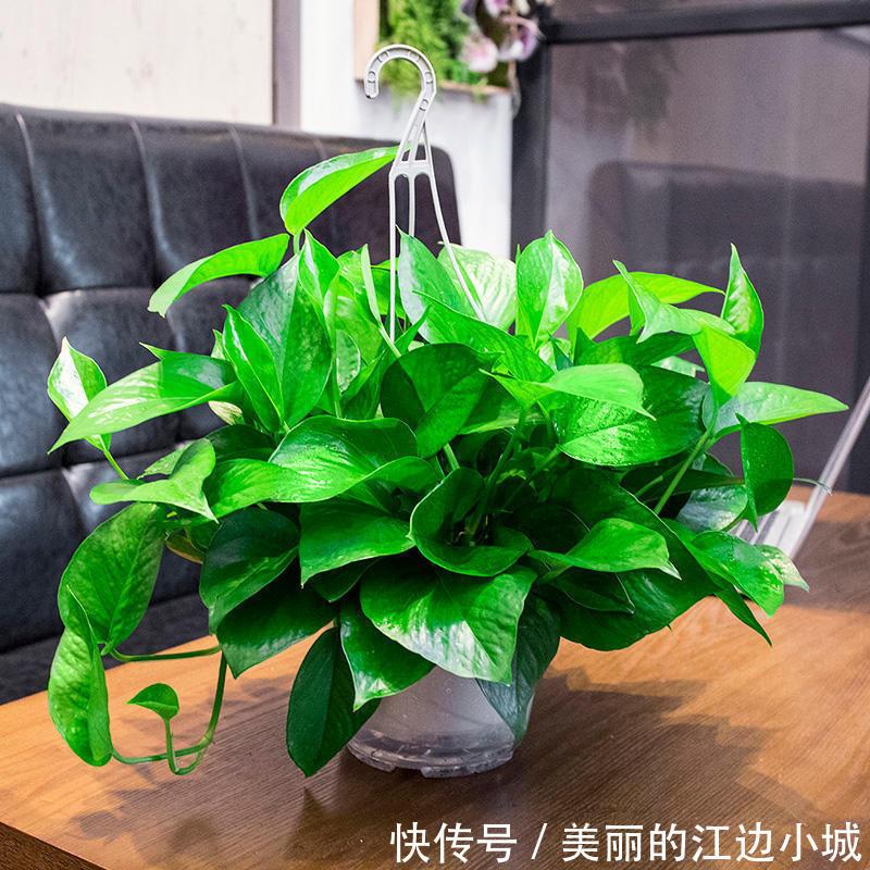 绿萝养护该怎样施肥,教你几招,枝繁叶茂,叶子油绿爆盆