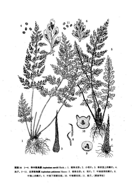 华中铁角蕨