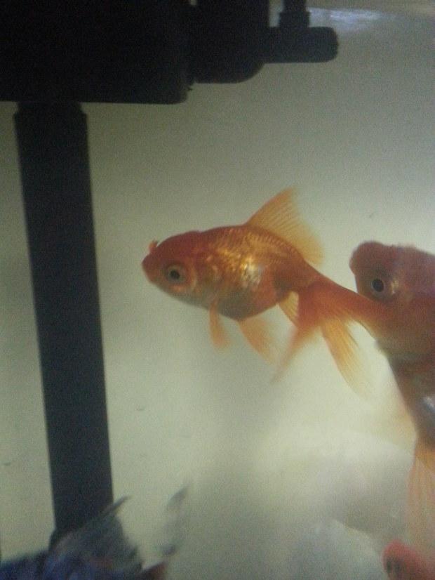 这两条金鱼是公是母图片