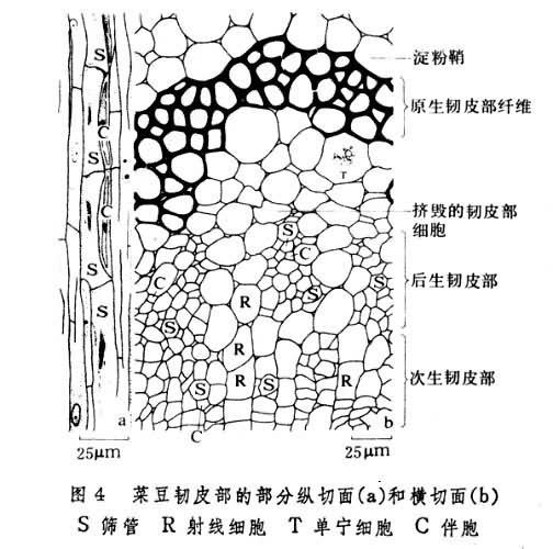 包括筛胞和筛管,前者分布于蕨类植物和裸子植物中,后者存在于被子植物中。筛管由一系列筛管分子顶端相互衔接而成。筛管分子一般只具初生壁,细胞壁较厚,在新鲜材料切片上,增厚的细胞壁有珍珠光泽,称珠光壁。此种壁主要由纤维素和果胶物质组成。在相邻的筛管分子侧壁和端壁上有筛域。这是一些具筛孔的区域,原生质束形成的联络索穿过这些筛孔互相连接,以沟通相邻筛管分子间的营养物质运输。在筛管分子端壁上的筛域有一定程度的特化,筛孔的孔径较大,联络索较粗,称作筛板。在端壁上仅有一个筛域的为单筛板,由几个筛域组成的为复筛板。联络索周