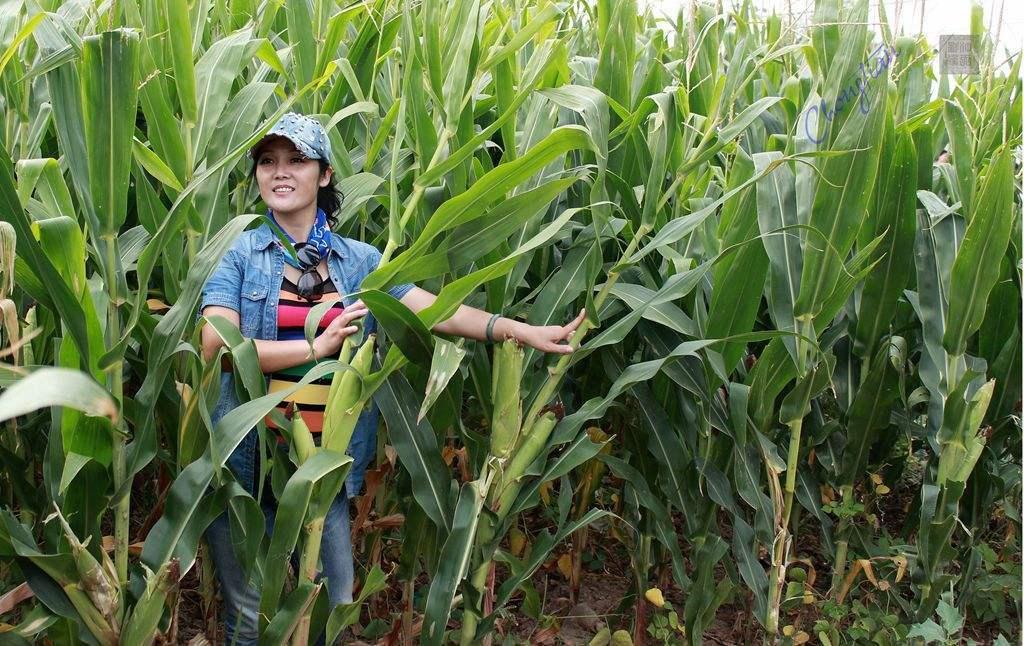 客观分析玉米市场:元旦后会不会涨?