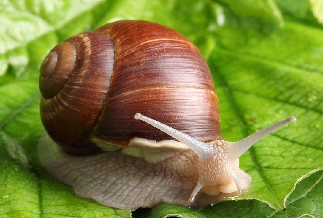 这么一会子,小儿子貌似把蜗牛干啥都给分工了。趁蜗牛走路,赶紧现场教学:儿子,你看,蜗牛的壳是低圆锥形的,有左旋的有右旋的,是不是?腹面有扁平宽大的腹足,行动缓慢,后面足下分泌的黏液可以降低摩擦力以帮助它行走,这个黏液还可以防止蚂蚁等一般昆虫的侵害,是很有用的。 妈妈,大蜗牛开始吃树叶了,它的牙齿在哪里啊? 蜗牛是世界上牙齿最多的动物。虽然它的嘴大小和针尖差不多,但是却有26000多颗牙齿。在蜗牛的小触角中间往下一点儿的地方有一个小洞,这就是它的嘴巴,里面有一条锯齿状的舌头,科学家们称之为齿舌。