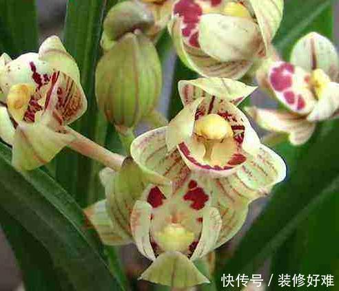 <b>花型最美的兰花,一杆多花,花苞圆润,花期越长,花色越深</b>